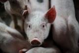 Organic Pigs at a Farm Print by Frank May