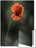 Red Poppy Art by Ursula Abresch