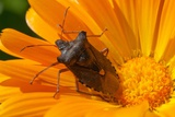 A Red-Legged Tree Bug Sits on a Yellow Marigold Flower in a Garden in Eichwalde Photo