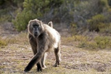 "A Baboon Is Running around the Premises of the ""Cape of Good Hope Nature Reserve"" Near Cape Town Photo"
