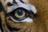 The Right Eye of a Malaysian Tiger Prints