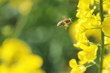 Symolic Picture of a Honey Bee Searching for Nectar Photo