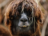An Alpaca (Lama Guanicoe F Pacos) Is Pictured in the Zoo of Zurich, Switzerland Photo