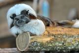 A Cottontop Tamarin Lays Inside its Compound at the The Thurinigian Zoopark in Erfurt Print by Martin Schutt