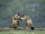 Two Marmots Posters