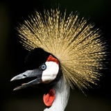A West African Crowned Crane Posters
