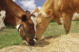 Two Brown Cows Eating Hay in Field, Close-Up Poster