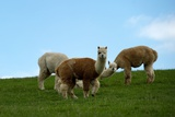Alpacas Stand in a Meadow in Dresden Against a Blue Cloudy Sky Posters