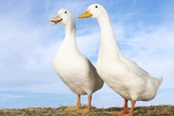 Two Geese Against Blue Sky Posters