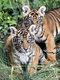 Two Tiger Babies in the Zoo in Frankfurt Photo