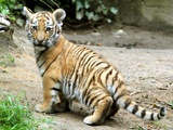 A Three Month Old Siberian Tiger Cub at the Duisberg Zoo in Germany Photo