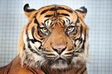 The Sumatran Tiger, Carlos, in His Enclosure in the Stuttgart Zoo Print