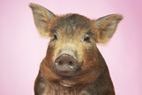 Brown Pig Against Pink Background, Close-Up Prints