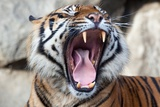 A Tiger Yawning and Showing His Teeth Photo