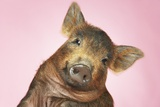Brown Pig Against Pink Background with Head Cocked, Close-Up Prints