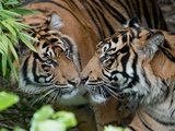 Two Sumatran Tigers Sniffing Each Other Photo