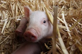 Three Piglets Sitting in the Straw Photo