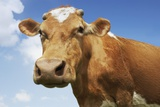 Close-Up Low Angle View of Brown Cow Against Blue Sky Posters