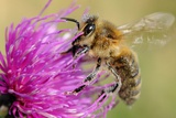 A Bee Sitting on a Thistle, Hanover, Germany Photo