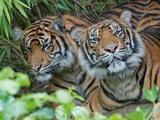 Two Sumatran Tigers Photo