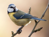 A Blue Tit Sitting on a Branch in a Garden in Eichwalde, Brandenburg Photo