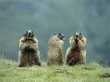 Three Marmots Photo