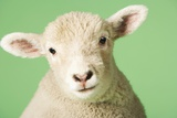 Lamb on Green Background, Close-Up of Head Foto