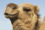 Close-Up of Camel's Head Against Blue Sky Photo