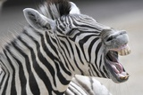 A Zebra Yawns at the Zoo in Heidelberg Photo