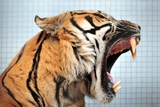 The Sumatran Tiger, Carlos, in His Enclosure in the Stuttgart Zoo Photo