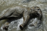 At Temperatures around 35 Degrees, Young Elephant Shahrukh Cools Off in a Basin Photo by Fabian Bimmer