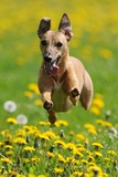A Whippet Running Through a Meadow Covered in Dandelions Photo