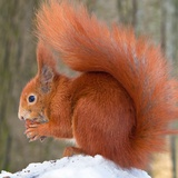 A Red Squirrel Sitting in the Snow Nibbling on a Walnut Photo