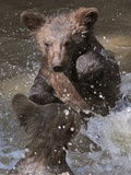 Two Small Brown Bear Cubs, Splashing in the Water Photo
