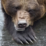 Swedish Brown Bear Fred Looks Very Tired at the Nature and Environment Park Guestow, Germany Photo by Bernd Wuestneck