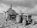 British Women's Land Army (WLA) Harvesting Beets During World War 2 Photo