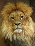 Portrait of a Lion Photo