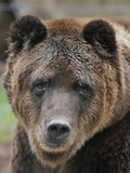 Brown Bear in the Wildlife Park for Bears and Wolves in Bad Rippoldsau-Schapbach Photo