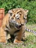 A Baby Tiger Born in Captivity in the Zoo in Berlin Photo