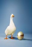 Goose Standing Beside Golden Egg, Studio Shot Photo