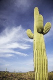 Saguaro Cactus in Desert Photo
