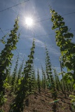 A Field of Hops Plants in Lower Bavaria Photo