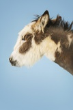 Donkey Against Blue Background, Eyes Closed, Close-Up of Head, Side View Poster