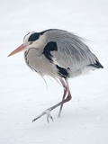 A Gray Heron in a Snowy Meadow Posters