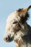 Donkey Against Blue Background, Close-Up of Head, Side View Poster