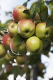 Apples on Tree Photo