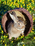 A Rabbit Sits in a Basket on a Blooming Meadow around Easter Time Photo