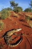Goanna in Desert Poster