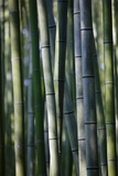 Japan, Kyoto, Bamboo Grove, Close-Up Photo