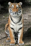 A Siberian Tiger Sits in His Enclosure at the Duisburg Zoo Photo
